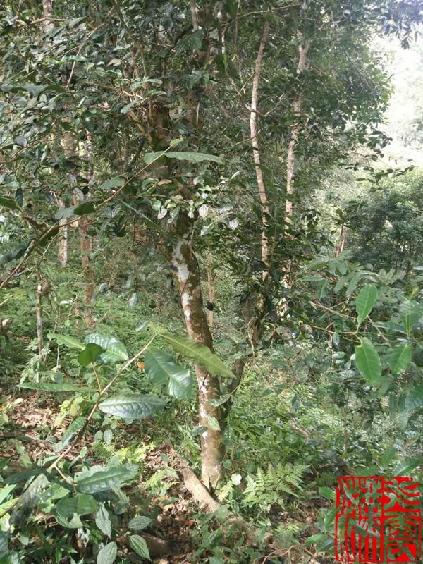 莽枝古茶山一流的生态植被