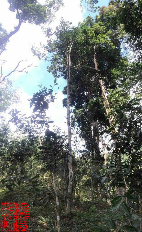 莽枝古茶山高度最高的古茶树