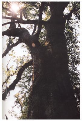 普洱镇沅千家寨普洱茶野生古茶树